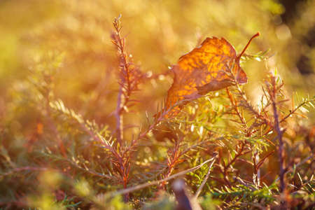 Orange dry autumn leaf fell on the green moss. Beautiful, juicy, natural, natural background of plants. Plants close-up in the fall. Stock Photo