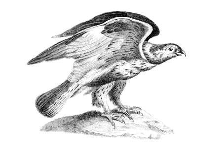 buzzard: Victorian engraving of a buzzard. Digitally restored image from a mid-19th century Encyclopaedia.