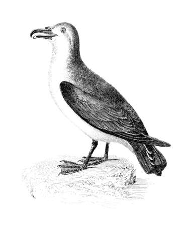 restored: Victorian engraving of a brad-billed prion, or petrel. Digitally restored image from a mid-19th century Encyclopaedia. Stock Photo
