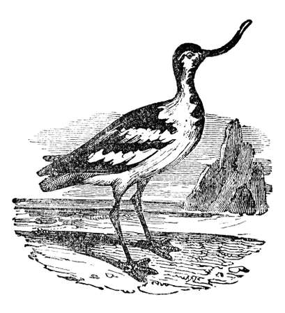 restored: Victorian engraving of a avocet bird. Digitally restored image from a mid-19th century Encyclopaedia.