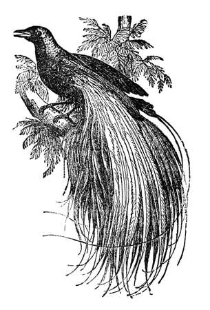 Victorian engraving of a bird of paradise. Digitally restored image from a mid-19th century Encyclopaedia.