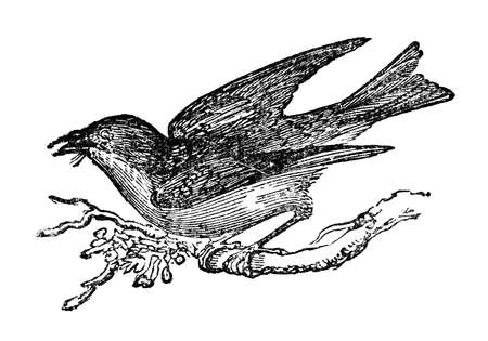bluebird: Victorian engraving of a bluebird. Digitally restored image from a mid-19th century Encyclopaedia. Stock Photo