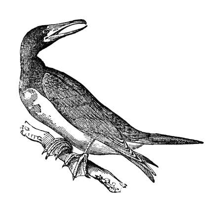 booby: Victorian engraving of a booby. Digitally restored image from a mid-19th century Encyclopaedia.