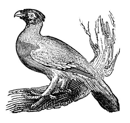 restored: Victorian engraving of a wood grouse. Digitally restored image from a mid-19th century Encyclopaedia.