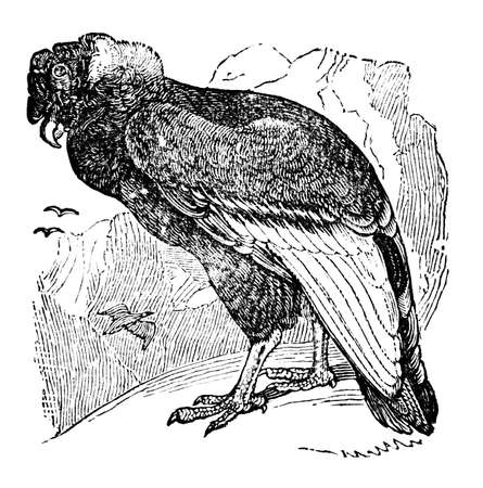 restored: Victorian engraving of a condor. Digitally restored image from a mid-19th century Encyclopaedia.