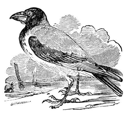 hooded: Victorian engraving of a hooded crow. Digitally restored image from a mid-19th century Encyclopaedia.
