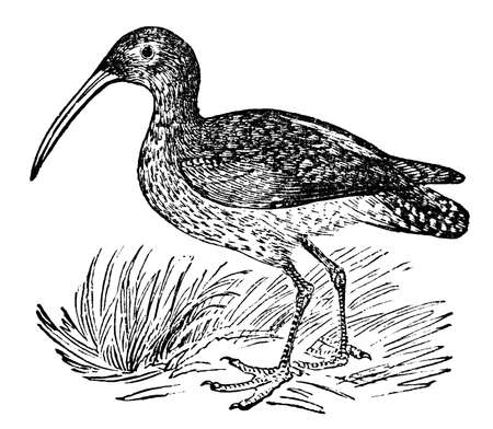 zoology: Victorian engraving of a curlew bird. Digitally restored image from a mid-19th century Encyclopaedia.