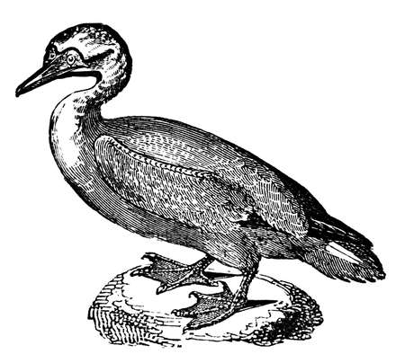 restored: Victorian engraving of a gannet bird. Digitally restored image from a mid-19th century Encyclopaedia. Stock Photo