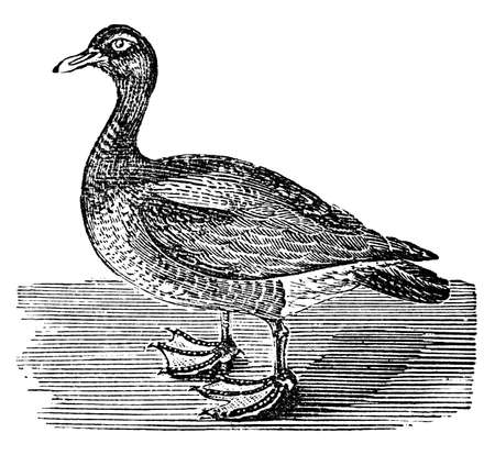 restored: Victorian engraving of a goose. Digitally restored image from a mid-19th century Encyclopaedia. Stock Photo
