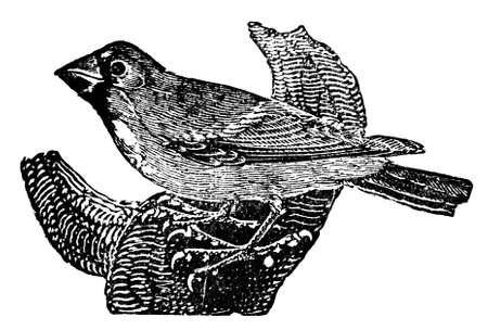 restored: Victorian engraving of a grosbeak bird. Digitally restored image from a mid-19th century Encyclopaedia.