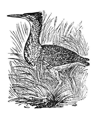 bittern: Victorian engraving of a bittern bird. Digitally restored image from a mid-19th century Encyclopaedia. Stock Photo