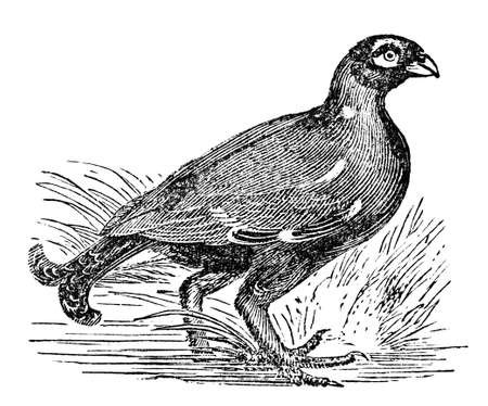restored: Victorian engraving of a black grouse. Digitally restored image from a mid-19th century Encyclopaedia.