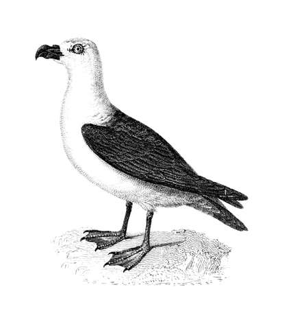 Victorian engraving of a fulmarine petrel. Digitally restored image from a mid-19th century Encyclopaedia.