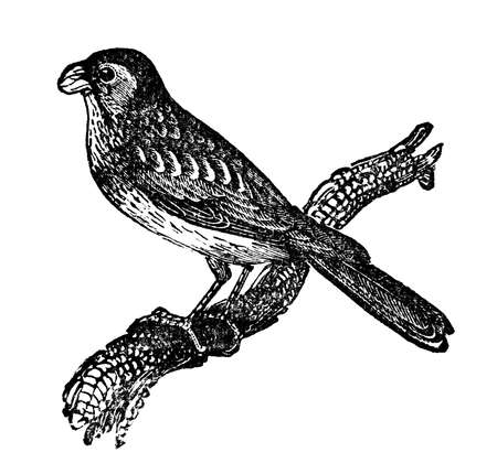 Victorian engraving of a bunting bird. Digitally restored image from a mid-19th century Encyclopaedia. Banco de Imagens