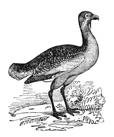 Victorian engraving of a bustard. Digitally restored image from a mid-19th century Encyclopaedia.