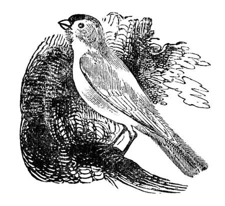Victorian engraving of a canary. Digitally restored image from a mid-19th century Encyclopaedia.