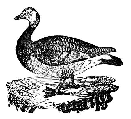 barnacle: Victorian engraving of a barnacle goose. Digitally restored image from a mid-19th century Encyclopaedia. Stock Photo