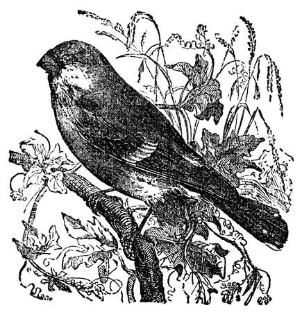 restored: Victorian engraving of a bullfinch. Digitally restored image from a mid-19th century Encyclopaedia.
