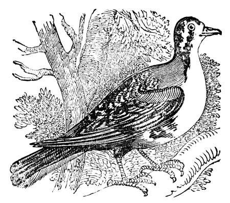 restored: Victorian engraving of a carrier pigeon. Digitally restored image from a mid-19th century Encyclopaedia. Stock Photo