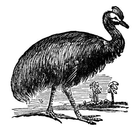 cassowary: Victorian engraving of a cassowary. Digitally restored image from a mid-19th century Encyclopaedia.