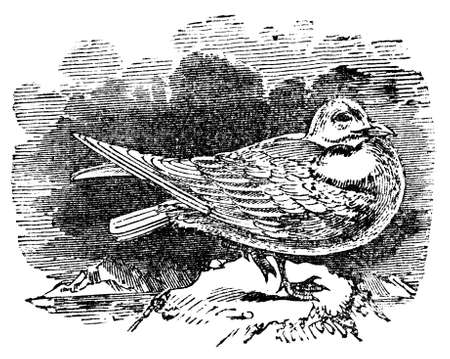 Victorian engraving of an ivory gull. Digitally restored image from a mid-19th century Encyclopaedia.