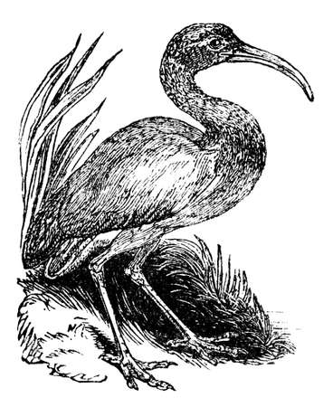 restored: Victorian engraving of an ibis. Digitally restored image from a mid-19th century Encyclopaedia.