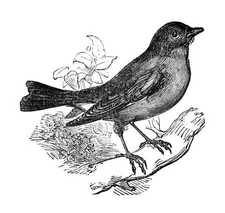 19th century engraving of a blue bird