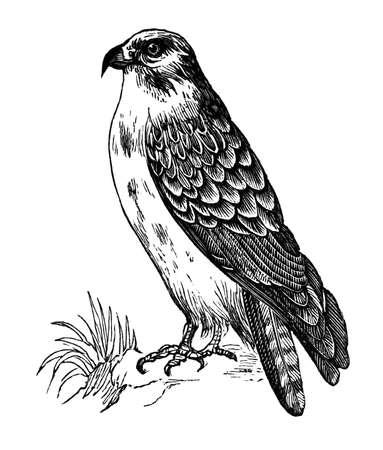 buzzard: 19th century engraving of a buzzard Stock Photo
