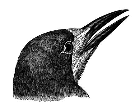19th: 19th century engraving of a crow Stock Photo