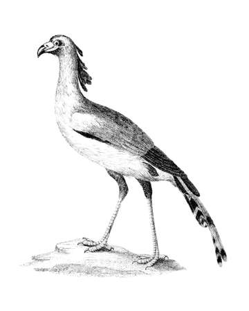 restored: Victorian engraving of a secretary bird. Digitally restored image from a mid-19th century Encyclopaedia. Stock Photo
