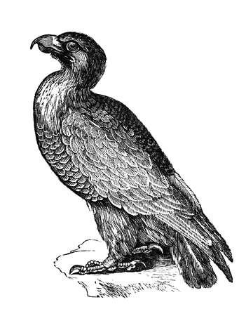 aigle royal: Gravure du 19e si�cle d'un aigle d'or