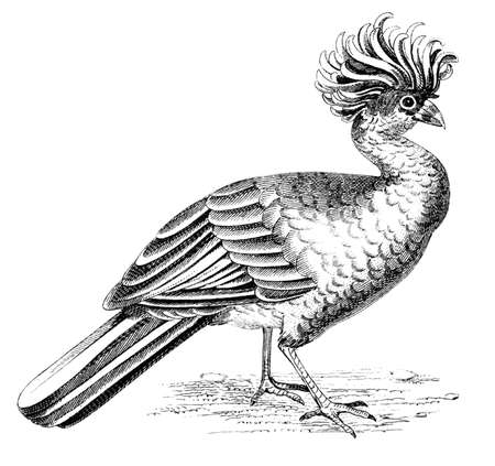 19th century engraving of a curassow Stock Photo