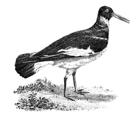 19th century engraving of an oyster catcher