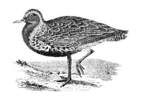 19th: 19th century engraving of a Golden Plover