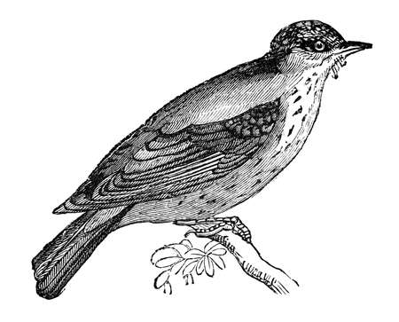 19th century engraving of a flycatcher