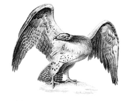 restored: Victorian engraving of a martial eagle. Digitally restored image from a mid-19th century Encyclopaedia.