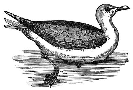 19th century engraving of a black-backed seagull