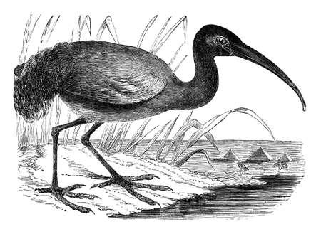 19th century engraving of an ibis 版權商用圖片
