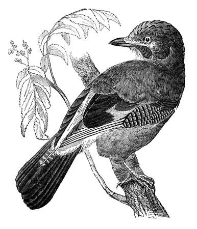 jay: 19th century engraving of a jay bird