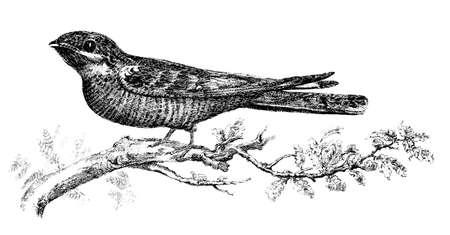 perch: 19th century engraving of a chupacabra bird Stock Photo