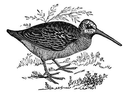 19th century engraving of a woodcock bird