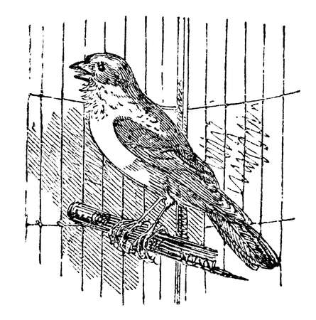 canary: 19th century engraving of a singing canary Stock Photo