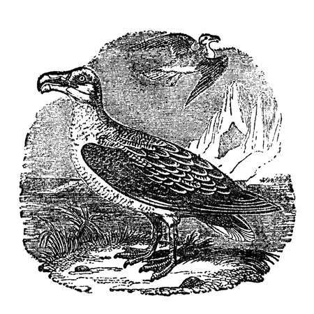 albatross: Victorian engraving of an albatross. Digitally restored image from a mid-19th century Encyclopaedia.