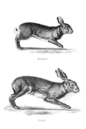 restored: Victorian engraving of a rabbit and hare. Digitally restored image from a mid-19th century Encyclopaedia.
