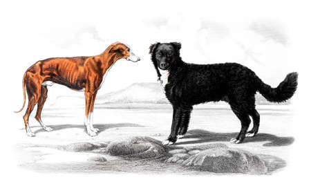 restored: Victorian engraving of dogs. Digitally restored image from a mid-19th century Encyclopaedia. Stock Photo