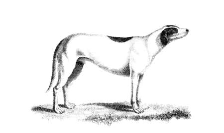 restored: Victorian engraving of a hound dog. Digitally restored image from a mid-19th century Encyclopaedia.