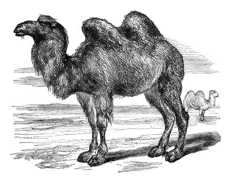 19th century engraving of a camel