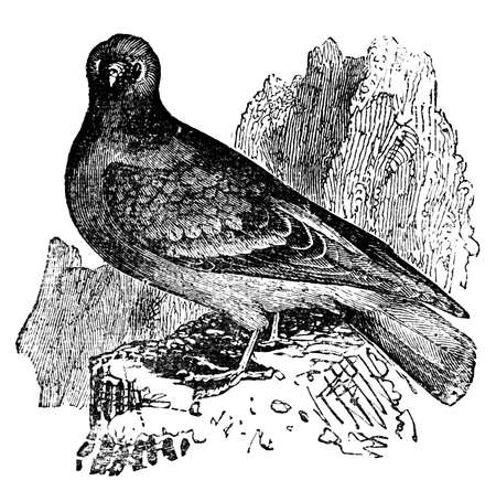 restored: Victorian engraving of a rock dove, or pigeon. Digitally restored image from a mid-19th century Encyclopaedia.