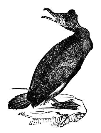 Victorian engraving of a cormorant. Digitally restored image from a mid-19th century Encyclopaedia.