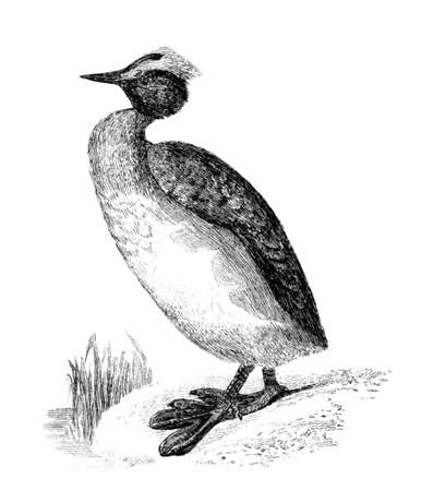 Victorian engraving of a horned grebe. Digitally restored image from a mid-19th century Encyclopaedia.